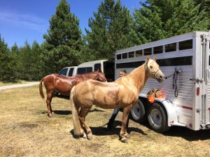 horse and mule by trailer